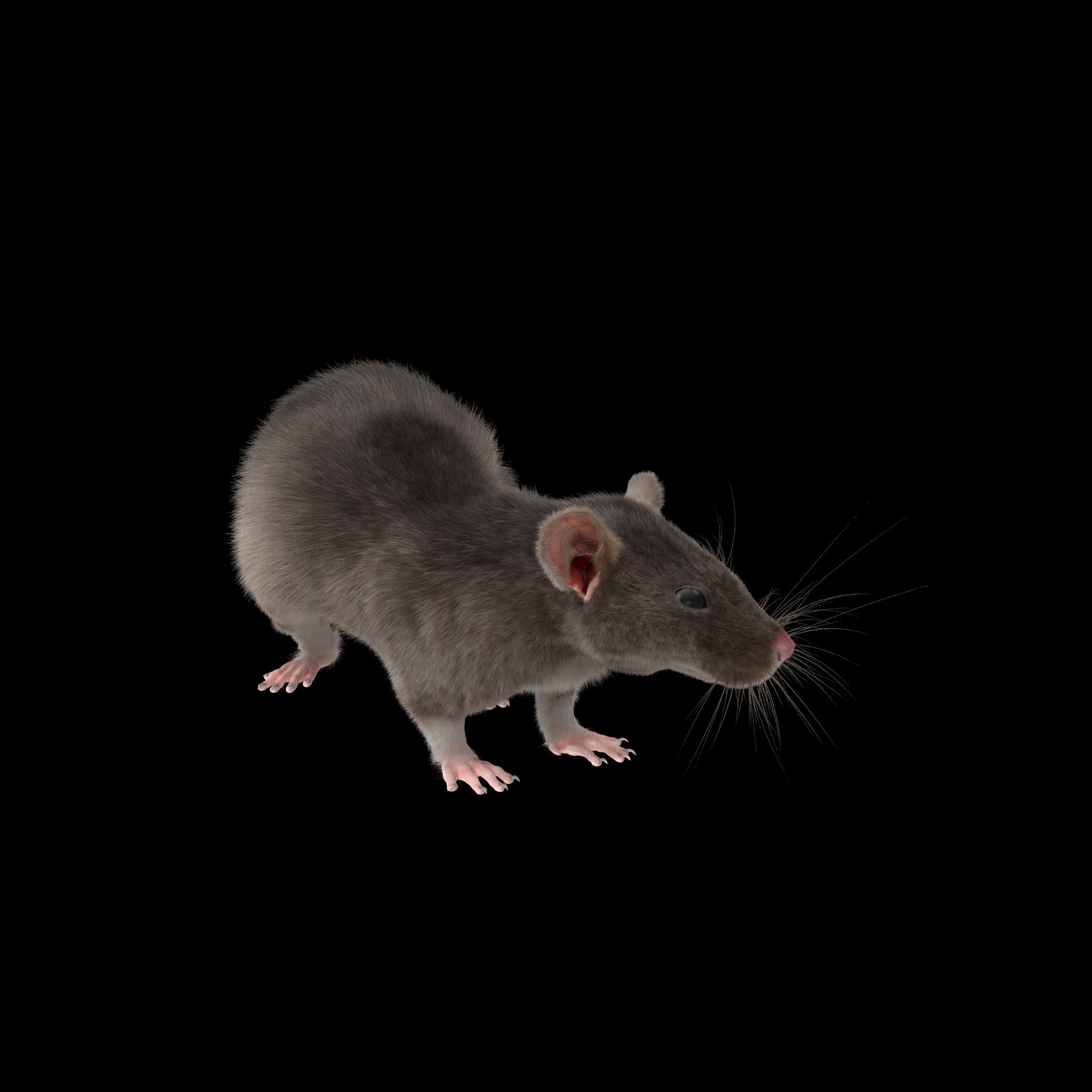 Grey Rat.H16